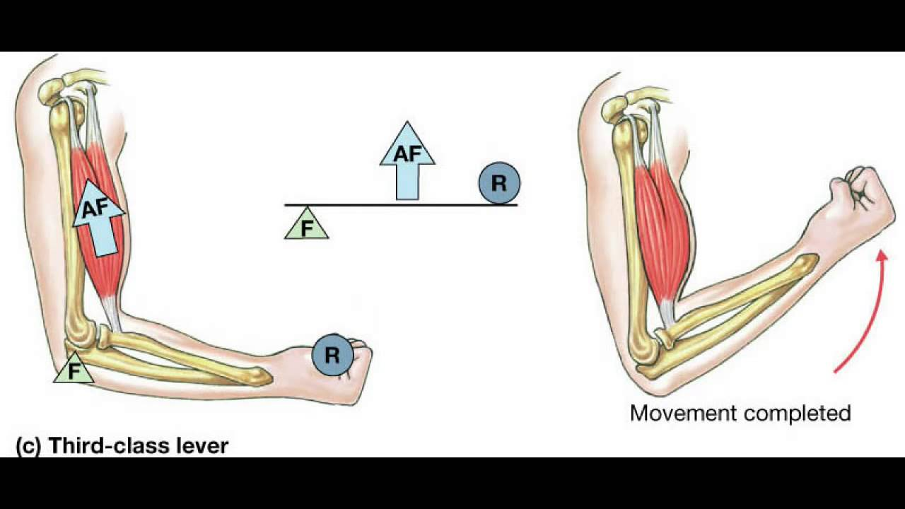 levers in the body