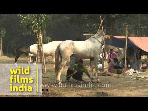Horses for sale at Sonepur Fair, Bihar