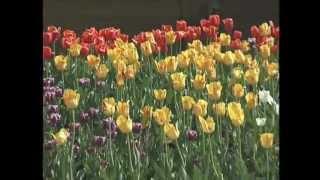 Gardening in the Zone: Tulips