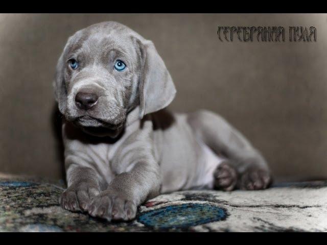 Веймаранер (Weimaraner) , Веймерская легавая. Породы собак