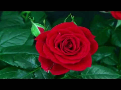 Bette Midler - The Rose (Kodiak Avenue Duo Cover - Wedding Promo)