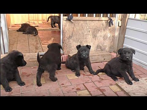 Щенки Черной Немецкой Овчарки 1 мес. и 1 неделя. Black German Shepherd Puppies 1 month. and 1 week.