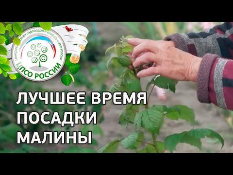 Когда посадить малину. Лучшее время посадки малины. | ремонтантная | выращивание | посадить | посадка | агроном | сажать | россии | огород | малины | малину