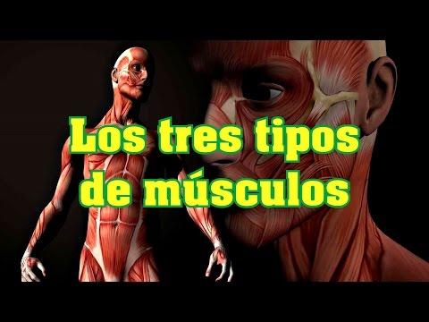 Los tres tipos de músculos