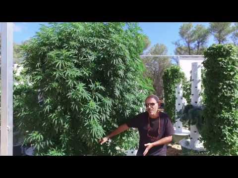 Aeroponic Marijuana - Grow 3 Pounds of Cannabis on just 1 Tower Garden
