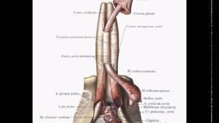 Половой член.  Penis  Гистологическое строение. Норма
