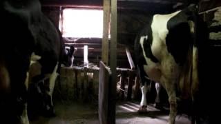 Сколько денег принесёт одна корова