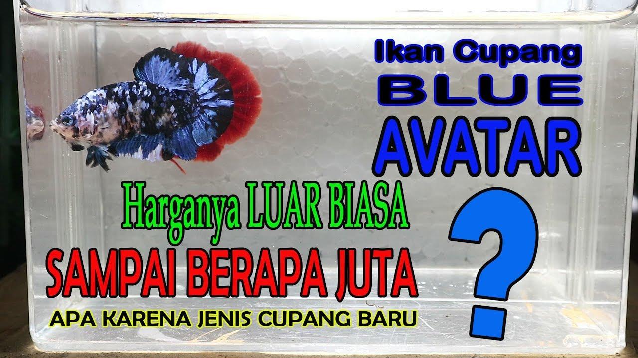 ikan cupang BLUE AVATAR dari THAILAND harganya masih mahal ...