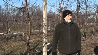 Обрезка яблони и груши в интенсивном саду. Польский фильм