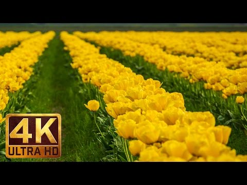 Tulip Festival, Skagit Valley - Beauty of flowers in 4K UHD Relaxation video  (4 hours video)