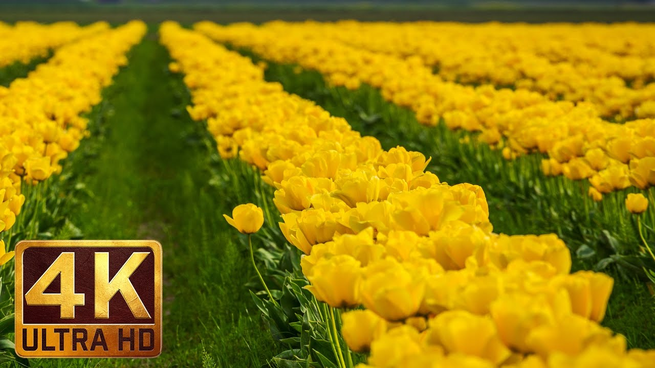 Tulip Festival Skagit Valley Beauty Of Flowers In 4k Uhd