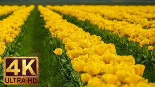 Tulip Festival, Skagit Valley - Beauty of flowers in 4K UHD Relaxation video  (1 hour video)(Turn your TV on and enjoy a new 1 hour relaxation video. Take delight in tender beauty of gorgeous tulips, relax, meditate and feel free spirit of spring!, 2016-04-28T17:47:35.000Z)