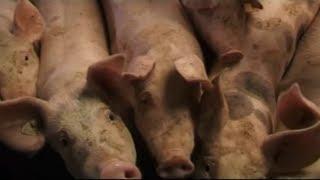 veganer-fordern-fleischverbot-massentierhaltung-produziert-extrem-viel-feinstaub