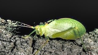 Sounds of Katydids and Crickets at Night