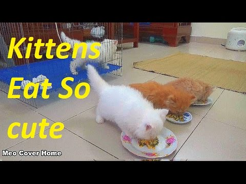 So Crazy Kittens Eat Food  | Cat Gives Birth To Kittens | Meo Cover Home