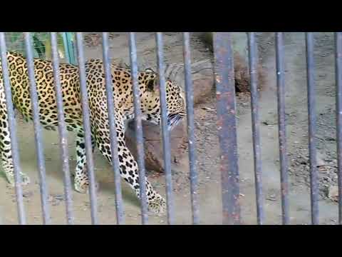MAHARAJBAGH ZOO NAGPUR   THE LEOPARD MORNING WALK