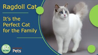 The Ragdoll breed: an ideal indoor cat