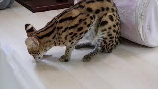 サーバル パンチ   serval punch