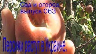 видео Саженцы персика купить в Украине