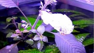 Гигрофилла  коримбоза  (лимонник)