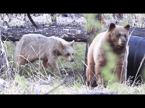 Giant Bear Charges And Attacks Two Hunters - 995121