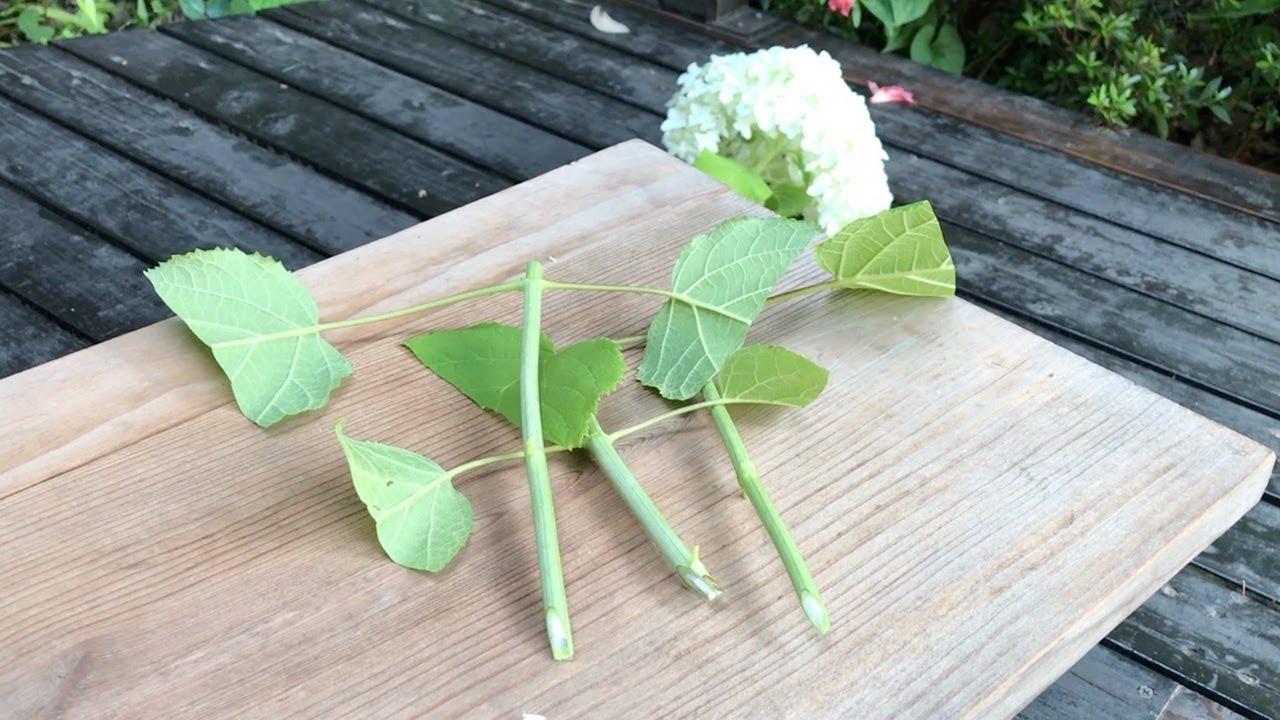 時期 紫陽花 挿し木 紫陽花(アジサイ)の挿し木の簡単な方法
