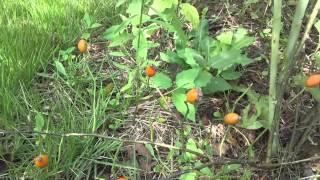 加賀フルーツランドのハーブ園では、初めての赤いローズヒップが実りま...