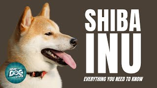 Shiba Inu Dogs 101  Small Dog Big Attitude