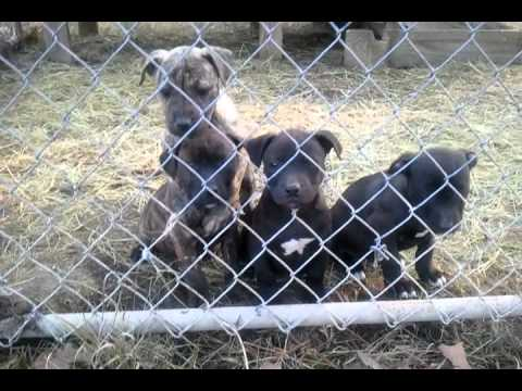 Pitbull pups For Sale Brickyard kennel