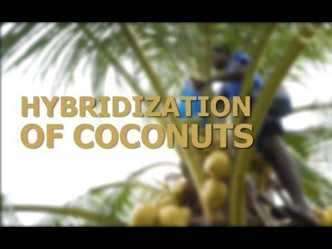 Hybridization of Coconut Palms