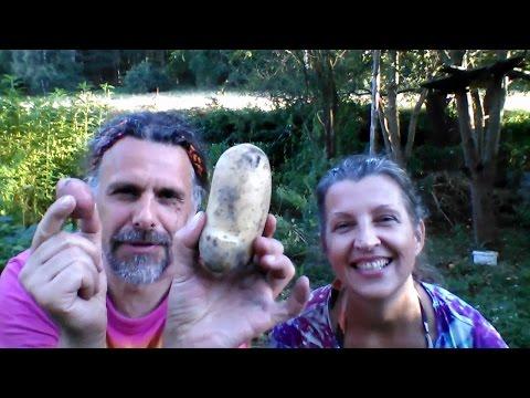 Jak snadno pěstovat brambory