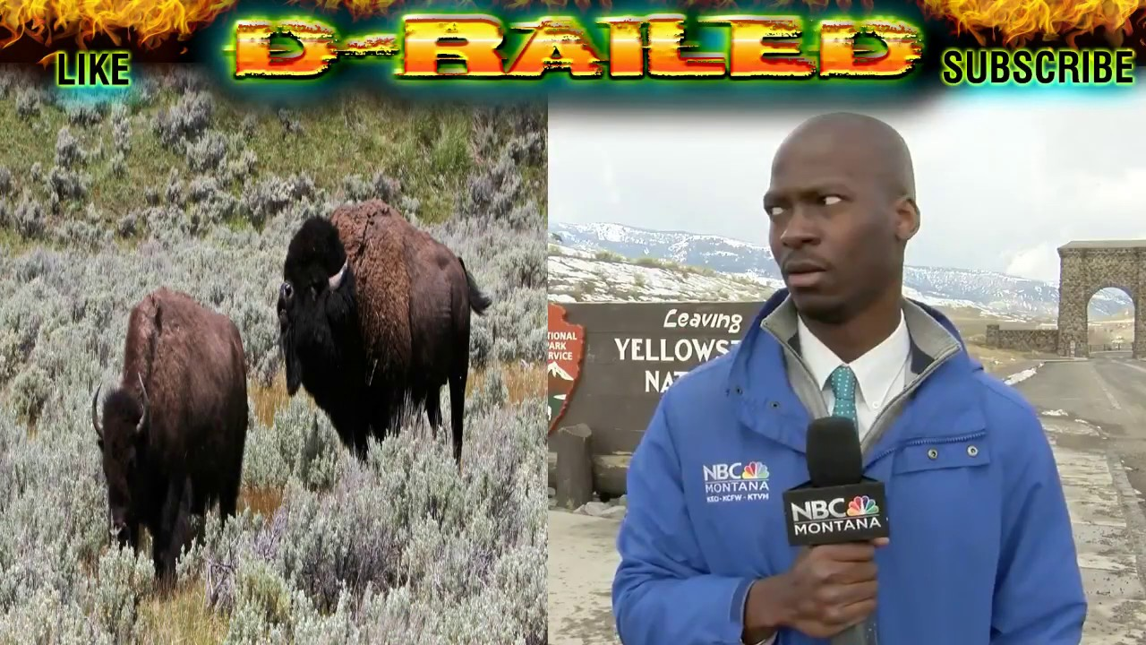 Reporter 'ain't messing' with the bison, video goes viral