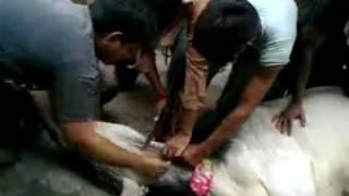 COW QURBANI KI LAST TAFRIH IN ABDULLAH COMPLEX 2011 part 1