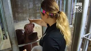 Fiona is One Smart Baby Hippo (Fiona Show S3 Ep 4) Cincinnati Zoo