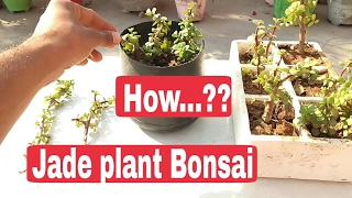 How to make jade plant Bonsai step wise -1,2,3 , jade bonsai , how to grow jade plant from cutting