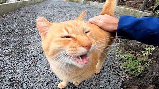 遊歩道で見掛けた茶トラ猫ちゃん、撫で撫ですると喜んで懐いてきた