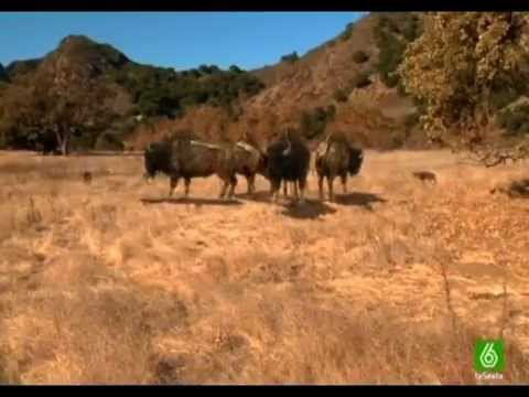"""Lobos gigantes documental """"ESPAÑOL"""" 1ra parte"""