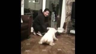 Westie Attacks!!