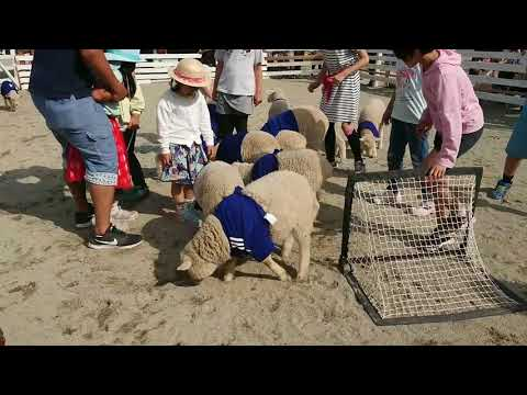 今年生まれた羊11頭でサッカーチームを結成!こひつじイレブン登場!