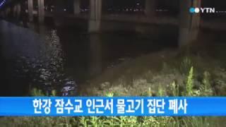 한강 잠수교 인근서 물고기 집단 폐사 / YTN