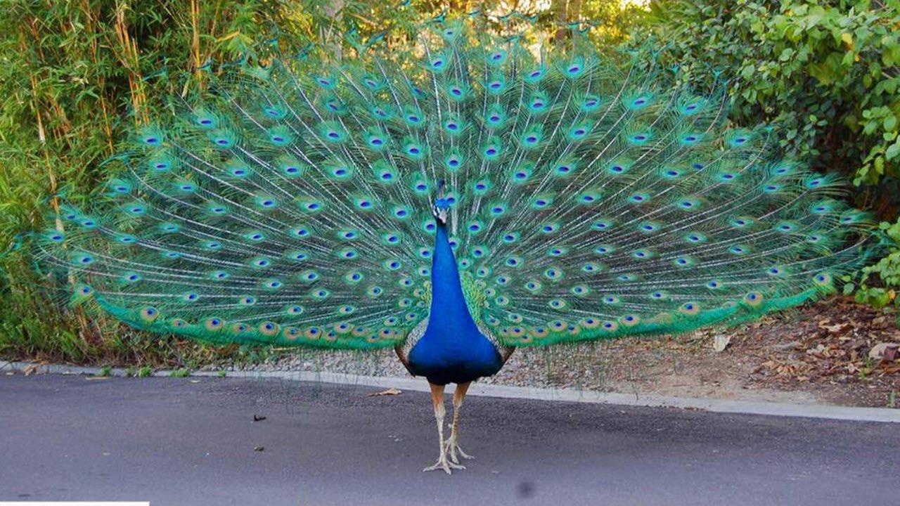 Tutorial Mengenal Burung  Merak  YouTube