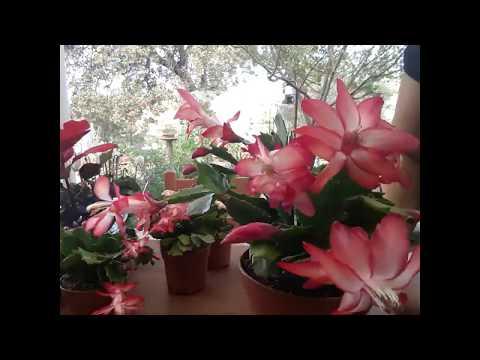 Yılbaşı çiçeğiniz çiçekten görünmesin/Yılbaşı Kaktüs Bakımı