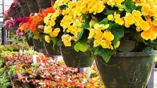 Tipos de begonias - Hogarmanía