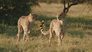 Three Cheetah Brothers