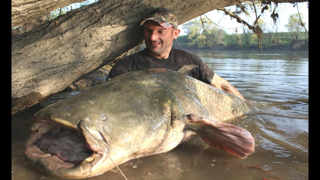 Monster catfish tall 8 63 feet x 250 lbs caught on camera for What is the biggest fish ever caught