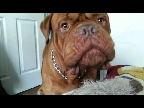 French mastiff wants to go to the dog park but does not want to take a bath