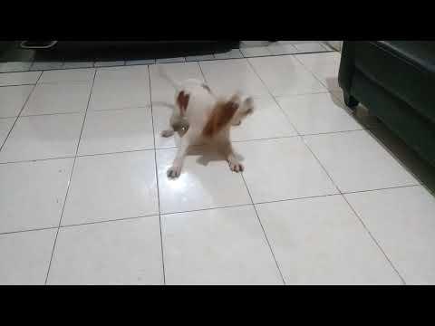 Cavalier king charles spaniel puppy marah marah sama tuannya