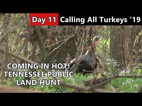 COMING IN HOT!!! - Tennessee Public Land Turkey Hunting - Calling All Turkeys