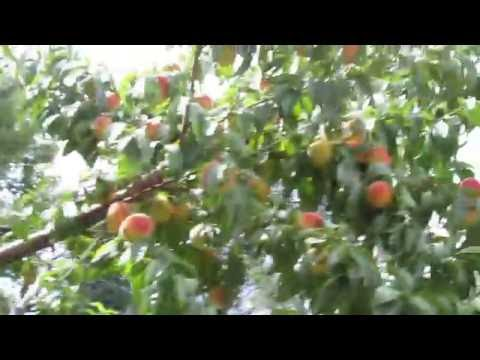 Millions of Peaches