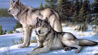 Wilki piękne zwierzęta